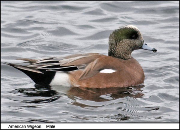 american_wigeon_male