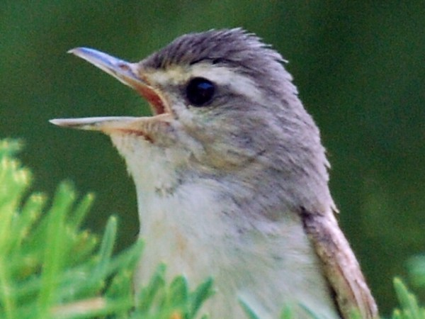 Warbling Vireo ( Photos by Carol Riddell)