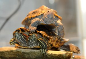 A two-headed turtle and friend.