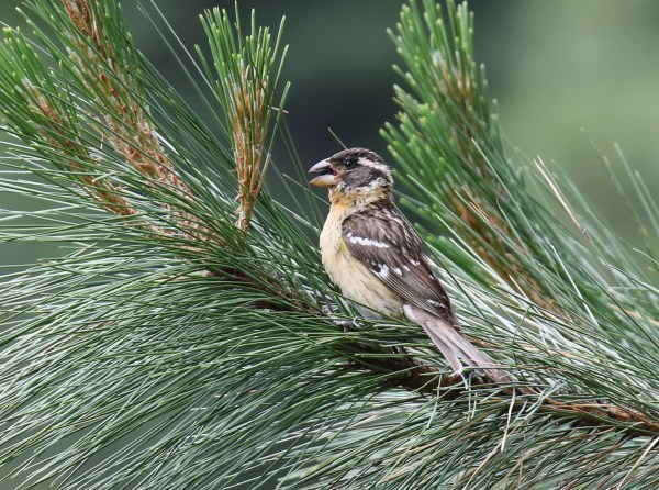 Female or Immature Male Black-headed Grosbeak