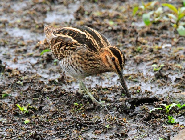 Wilson's Snipe (Photo by Blair Bernson)