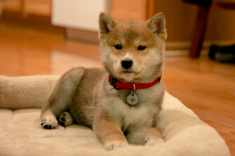 Aki the Puppy 2016