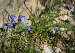 Tiny Campanula flowers