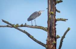 Great Blue Heron in an old pine snag. In the summer I frequently see Bald Eagles, Osprey and Tree Swallows using this snag