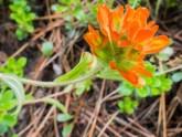 Orange paintbrush. Castilleja sp