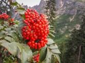 Mountain Ask berries