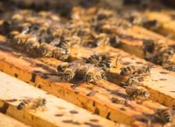 Angry honeybees