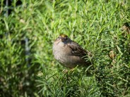 Gold-crowned Sparrow in a rosemary hedge