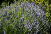More of the lavender