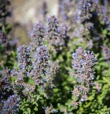The honeybees and native bumblebees like this flowering catnip