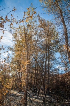 Cottonwoods by the river, with the leaves prematurely yellow