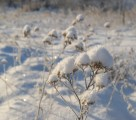 Yarrow with caps of snow