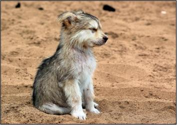 baby wolf dog puppies howling www.myexoticworld.com
