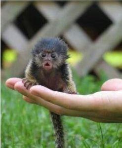 baby finger monkey