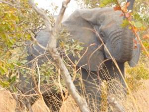 Elephants in Nazinga Game Ranch