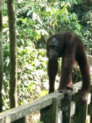 Sepilok Orangutan Reabilitation Center