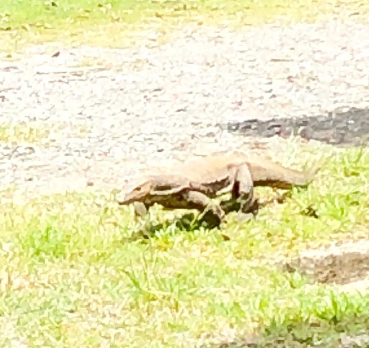 Palm Oil Plantation Monitor Lizards