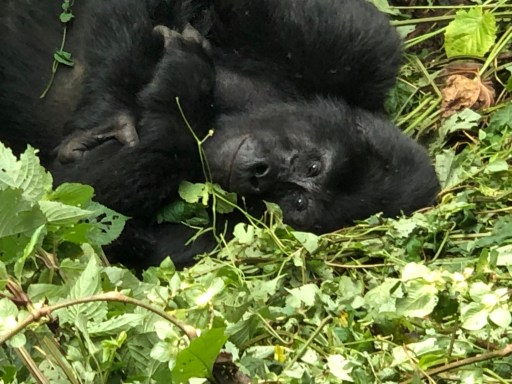 Ugandan Mountain Gorilla