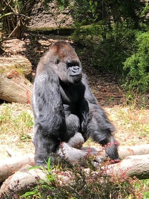 Woodland Park Zoo Lowland Gorilla