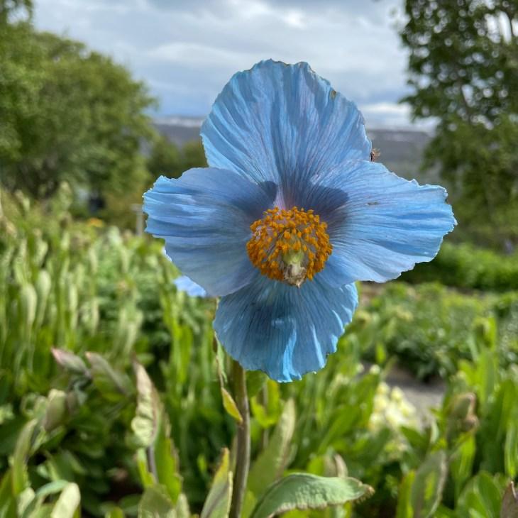 Blue Poppy Iceland