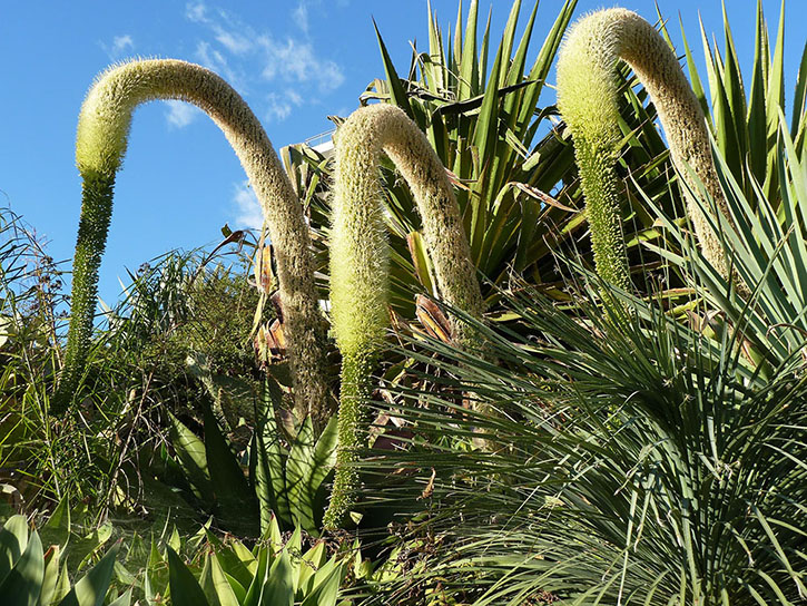 The weird and wonderful giant Swan Neck plant