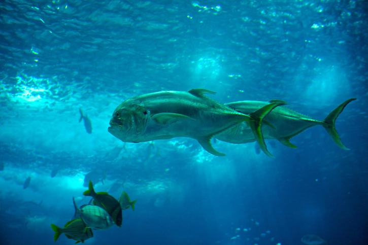 Lisbon Aquarium - A pair of Crevalle Jacks fish wimming together
