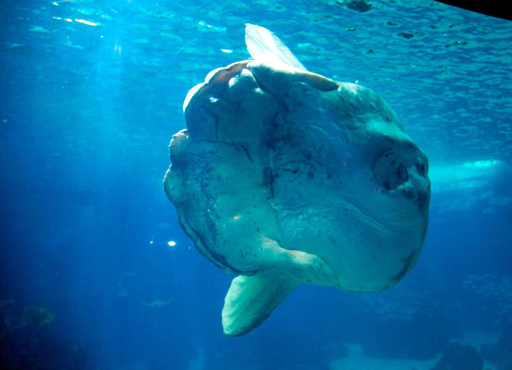Lisbon Aquarium is one of the few aquaria in the world to have Sun fish