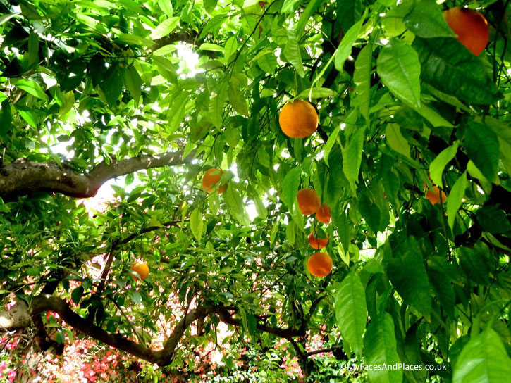 Oranges are found everywhere in gardens and along the streets of Seville.