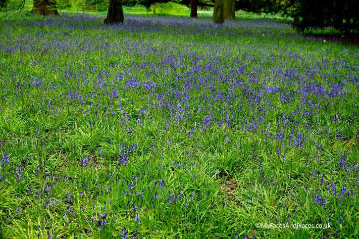 Fields of Bluebells in Kew Gardens.