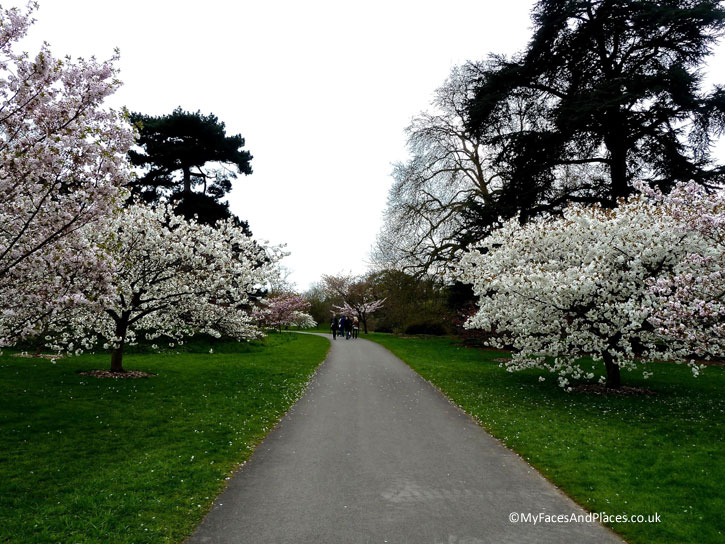 The Cherry Blossom Walk in Kew Gardens