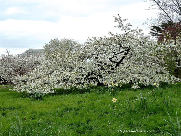 Japanese Cherry Blossom in wondrous white in Kew Gardens.