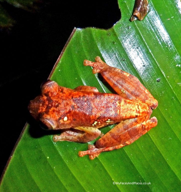 Harlequin Tree Frog of Borneo. Albert Teo - A Man With A Green Mission
