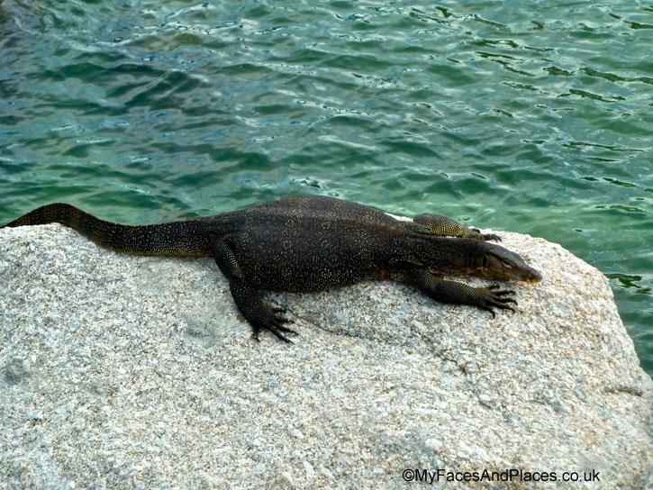 A big fat monitor lizard basking lazily in the sun