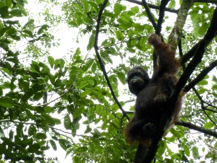 A mother orang utan teaching her baby to climb a tree at Sukau Rainforest Lodge - Sabah