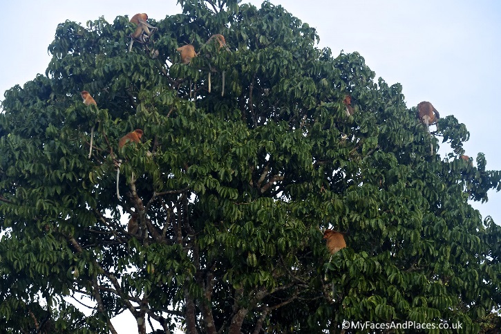The proboscis monkey's harem - in Sabah