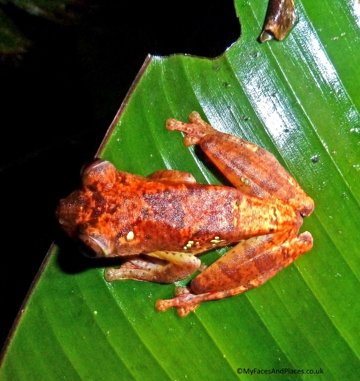 Harlequin frog resting on a banana leaf in Danum Valley - in Sabah