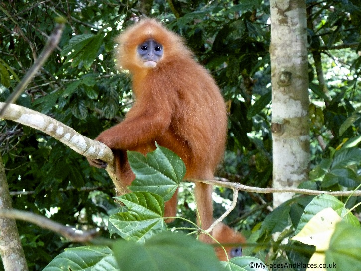 A Red Leaf monkey does not look too happy to be photographed - in Sabah.