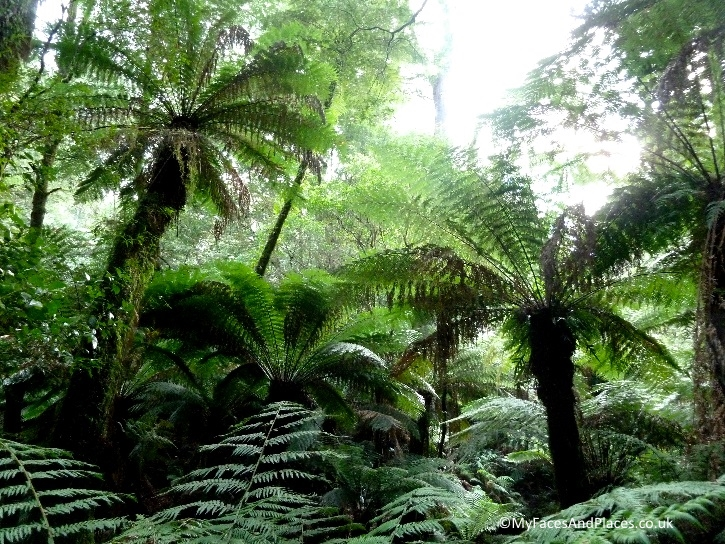 The enchanting fern trees in the temperate rainforest in the Otway Ranges