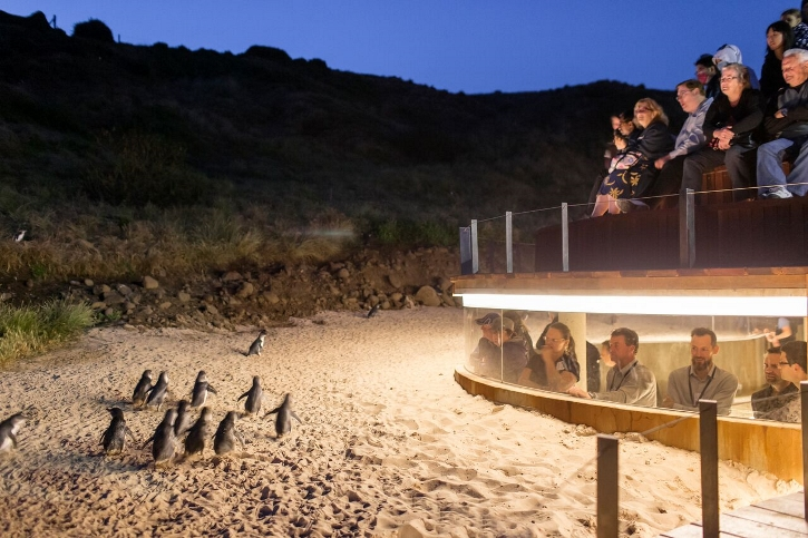 Little Penguins waddling up the beach at Phillip Island. Photo courtesy of Phillip Island Nature Parks