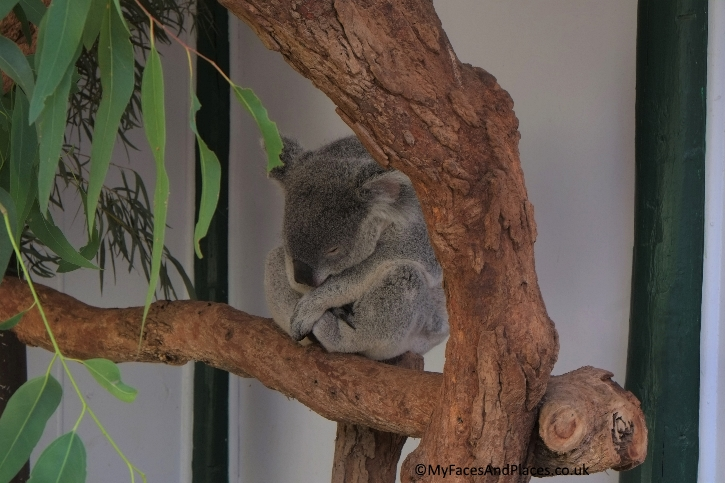 Sydney Stopover - Koala is one of the cutest residents at Featherdale Wildlife Park
