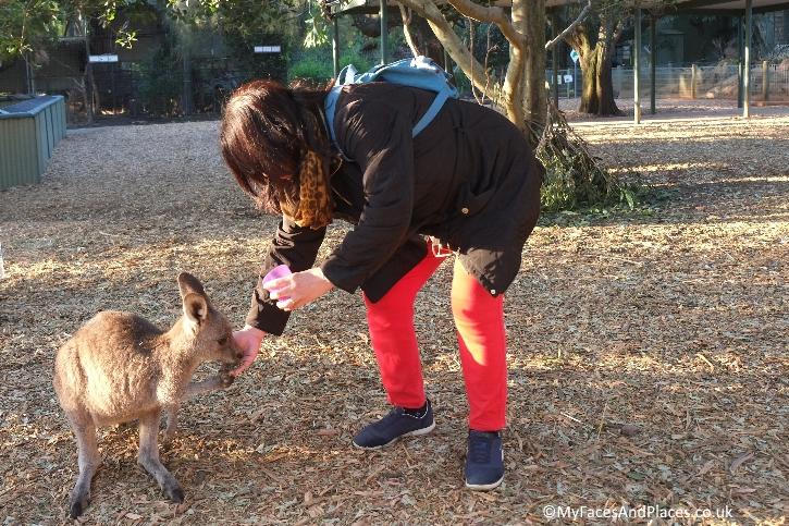 Sydney Stopover - Helen hand-feeding a friendly wallaby
