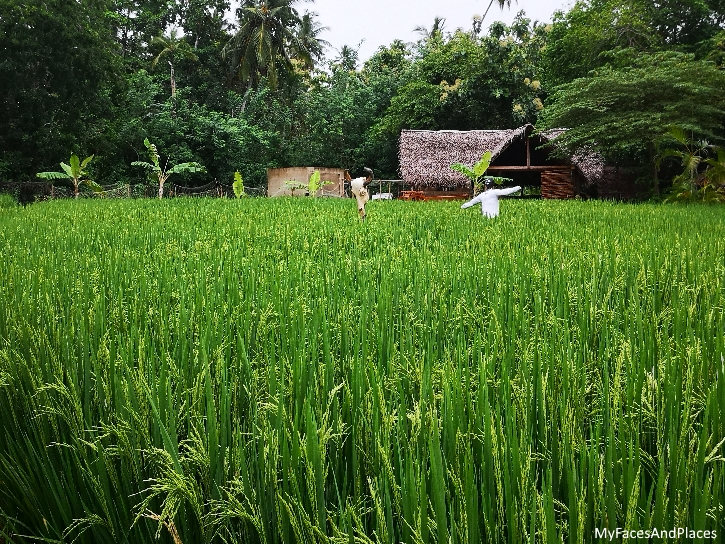A sea of luscious green in the rice field of the resort's organic garden