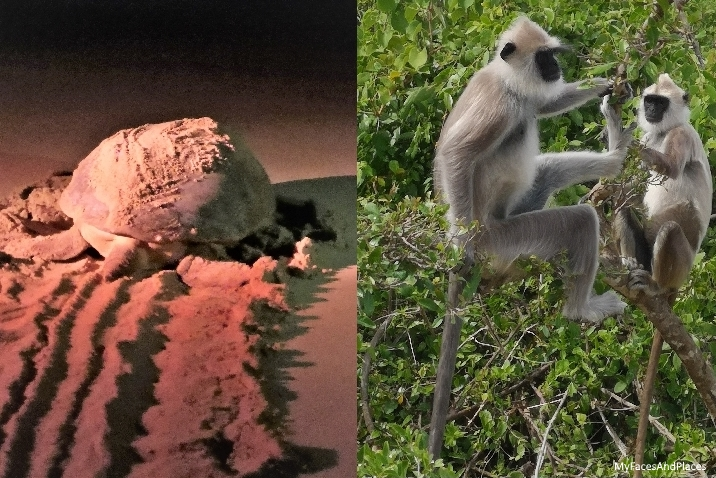 Meet the amazing wild team: Olive ridley turtle and langur monkeys