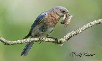 bluebird_eastern_1445_raw_big