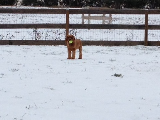Dog Photo - Maybelle plays with the tennis ball in the ice