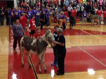 Donkey Basketball Photo - First donkey enters the gym