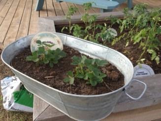 Garden Photo - Strawberries in galvanized bucket