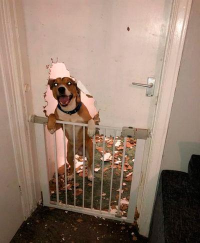 Пес превратил дверь в щепки, пока был один дома