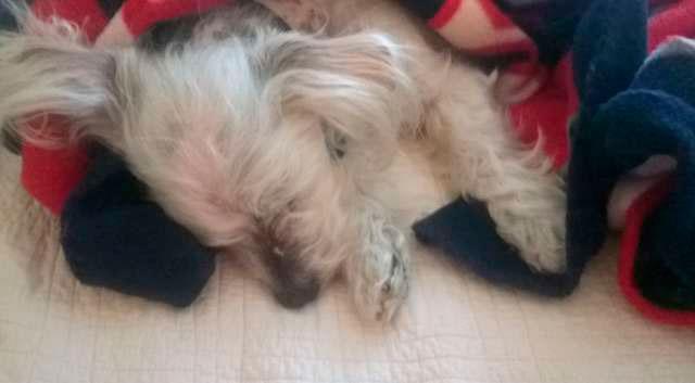 Хозяйка Дабби решила привезти его в ветеринарную клинику на прививку.