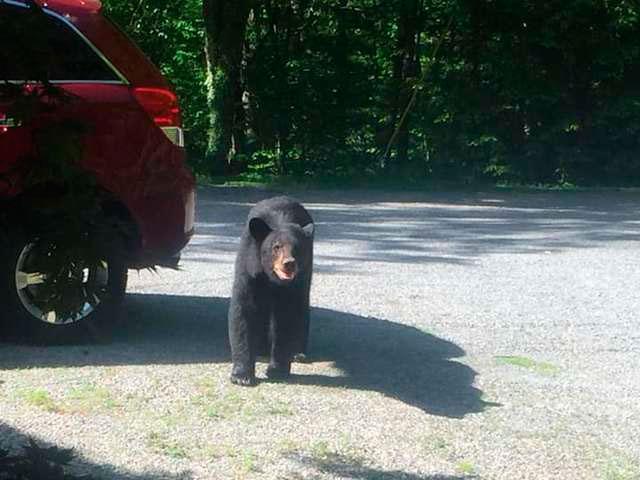 наигравшись с автомобилем медведи вернулись в лес